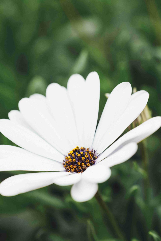 the white daisy flower