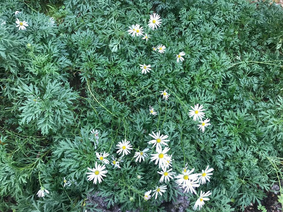 White Daisy flowers at Botanic Garden