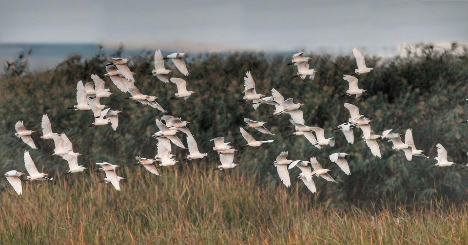 Cattle Egrets Flying in Formation