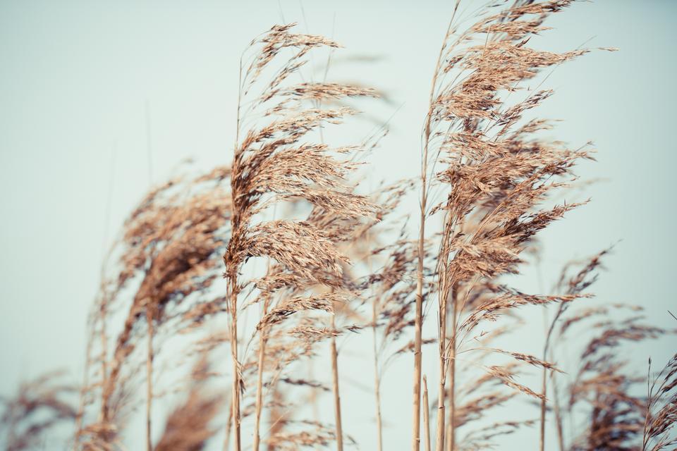 close up of pink reeds grass