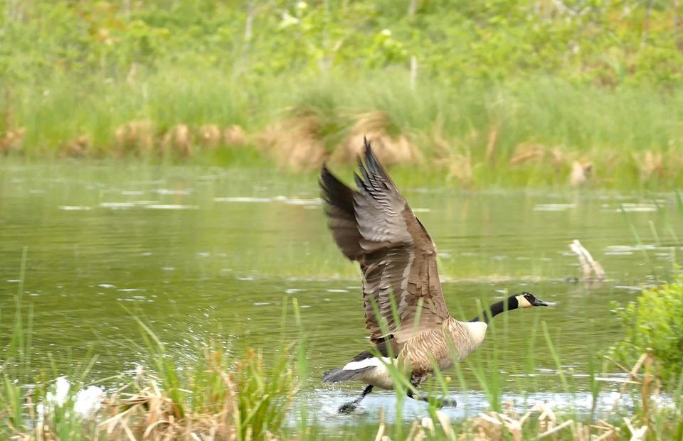 Goose Walking on Water