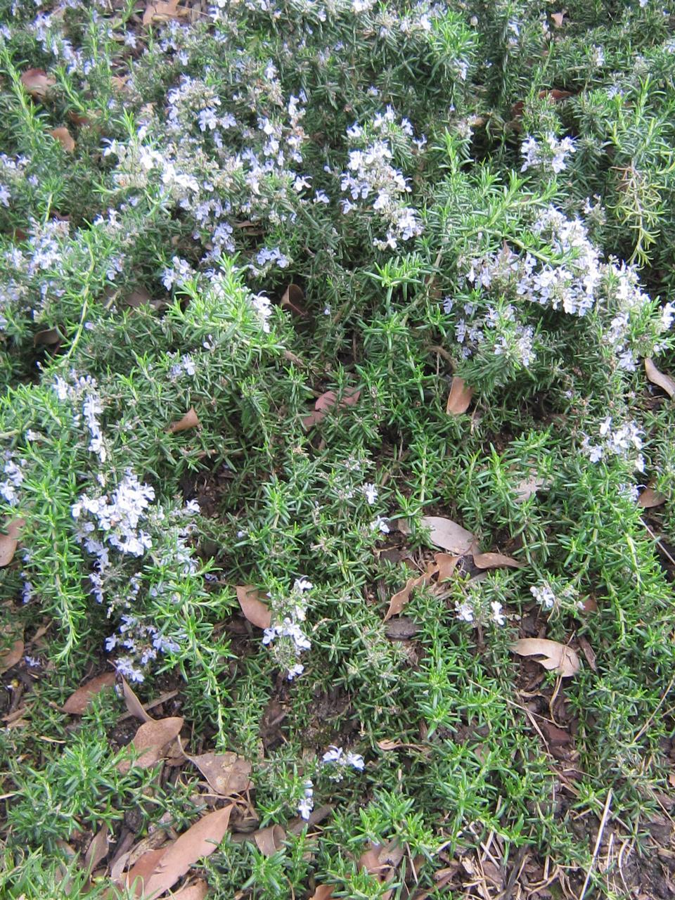flower_herb_rosemary_groundcover_1