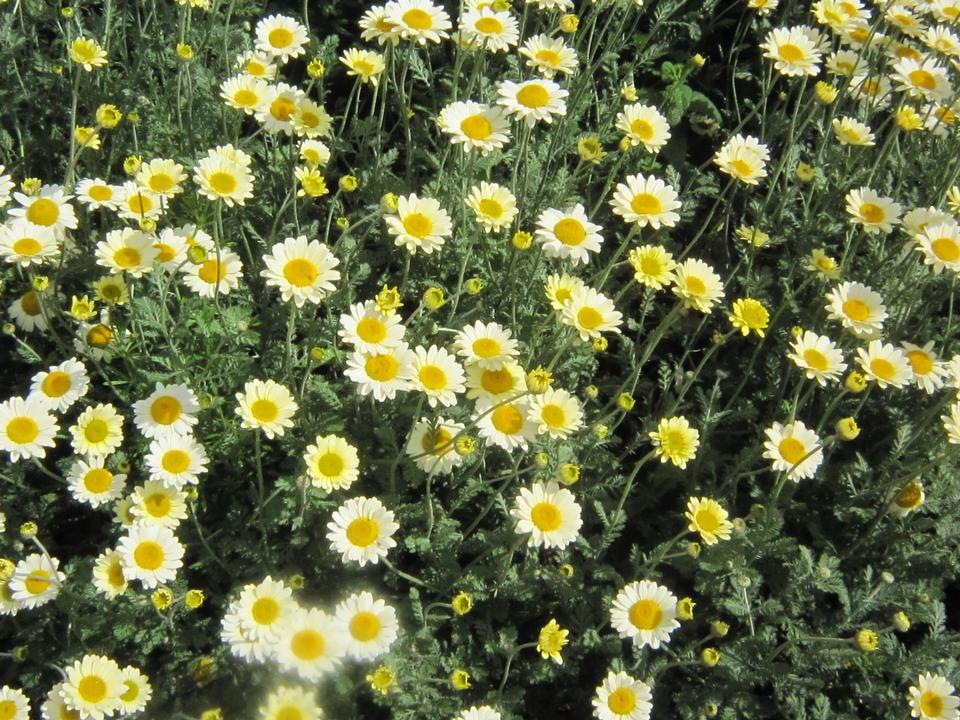 flowers,white,yellow,centre,
