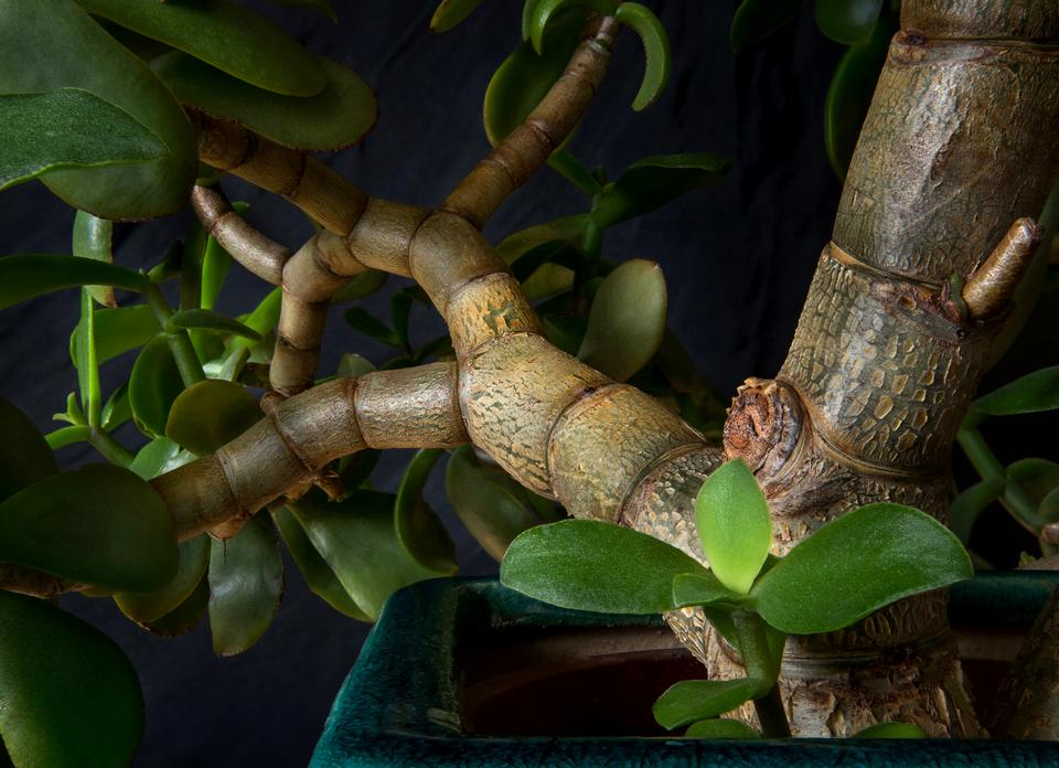 Inside the branches of a jade plant