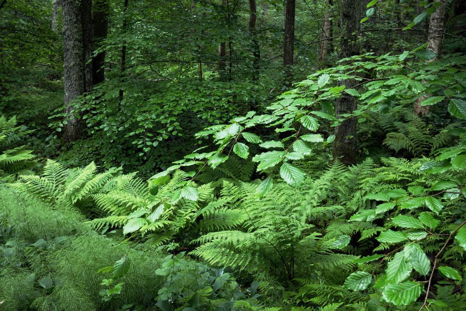 Beech ostrich ferns and wood horsetail