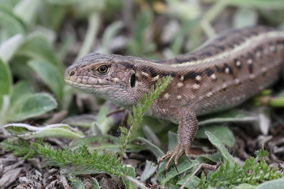 Sand Lizard female
