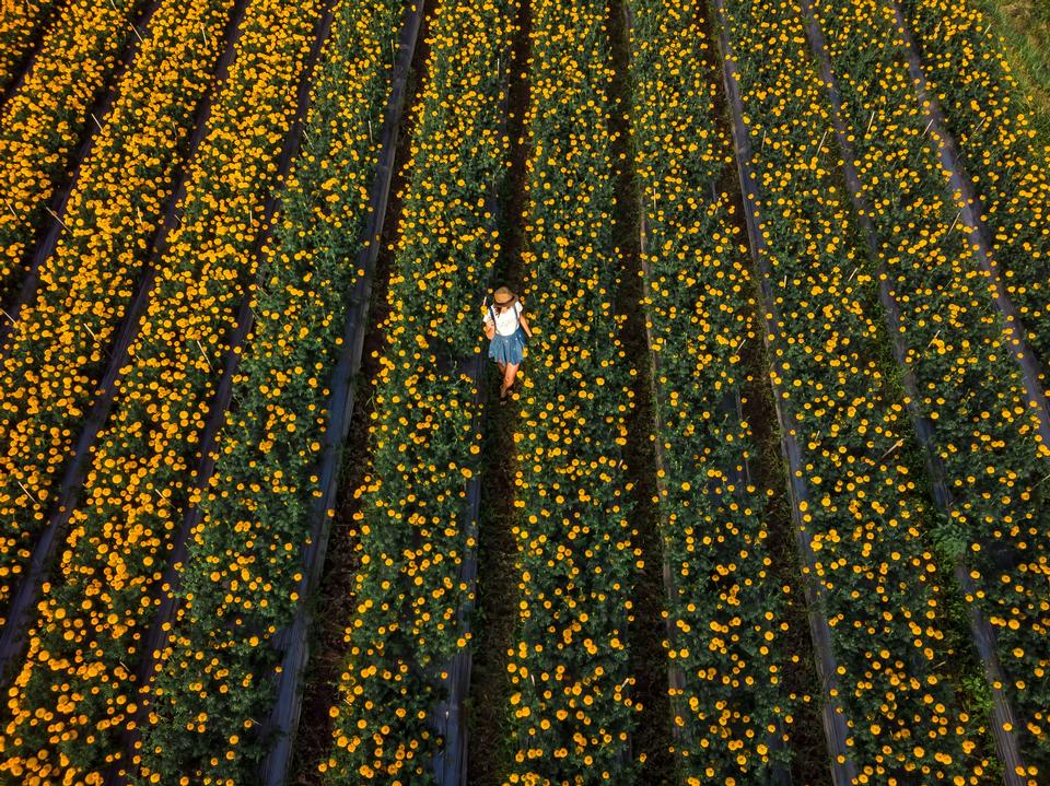 Aerial view of woman on a marigold field