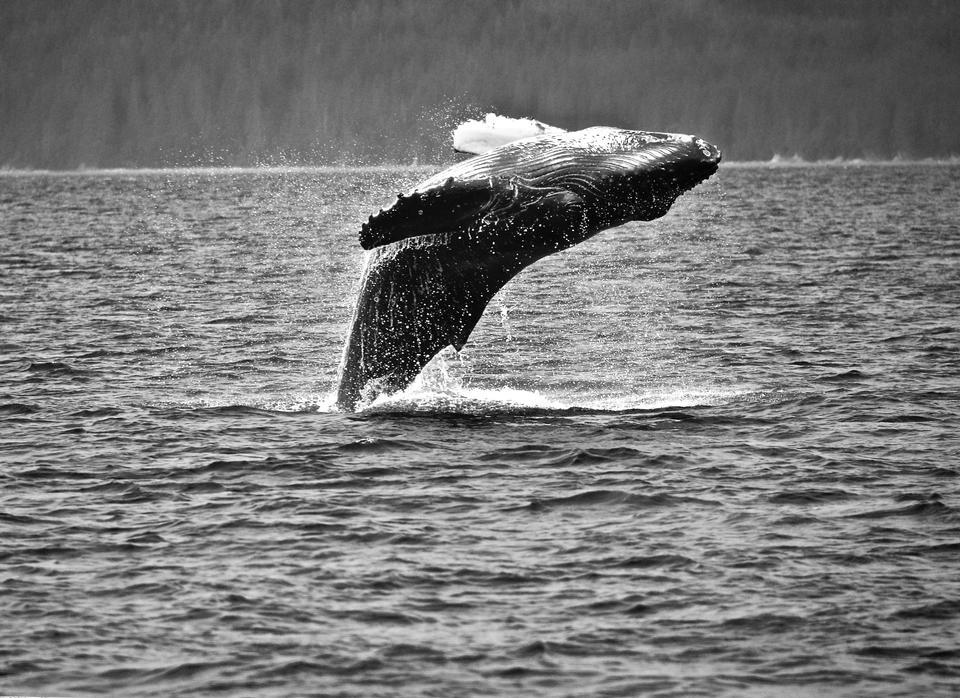 クジラを襲う