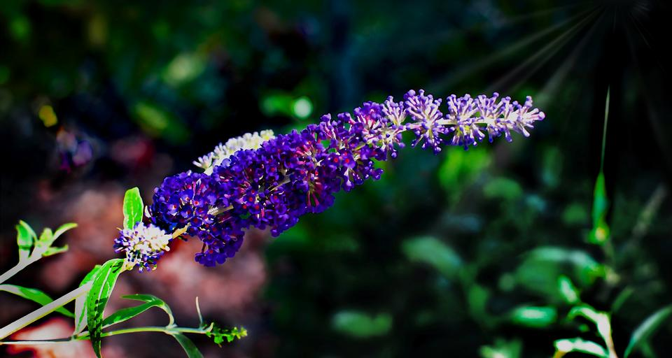 Buddleia bloom