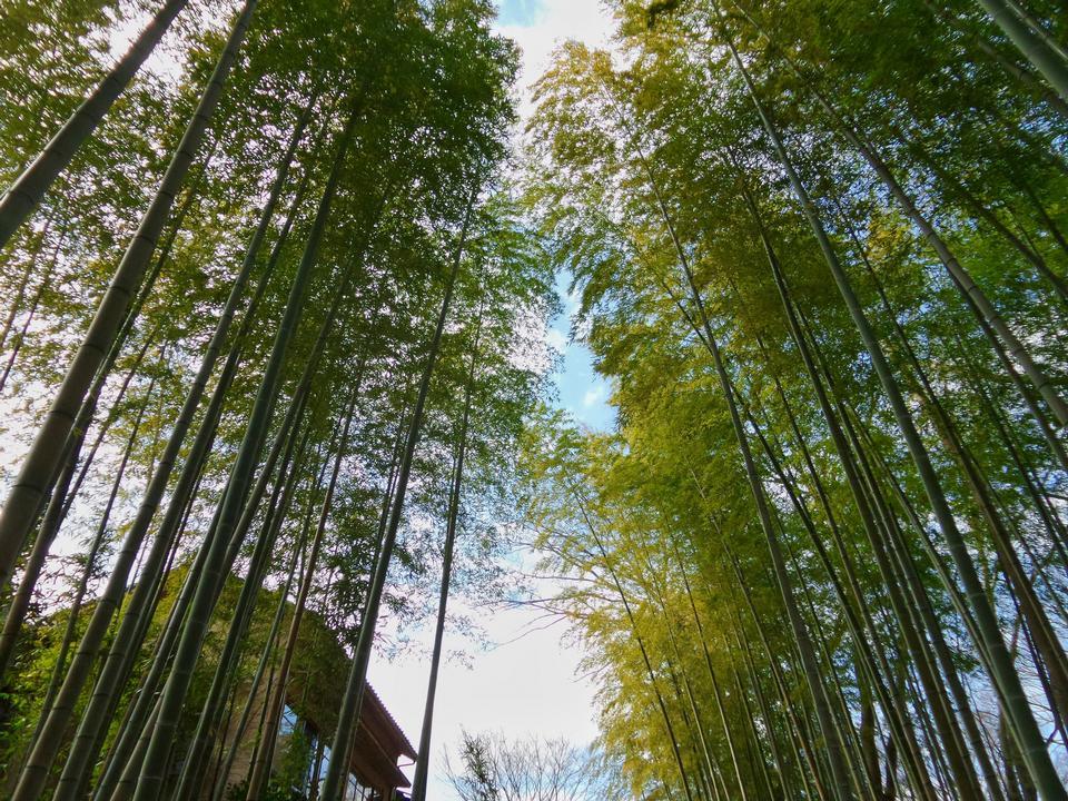 Paisagem de bambu