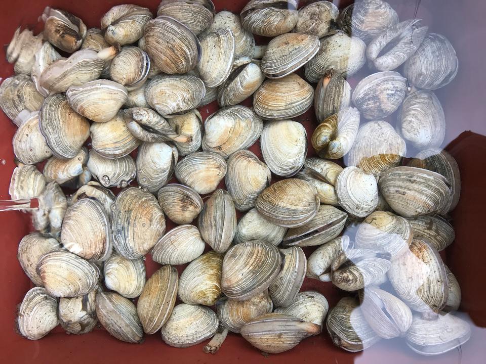 新鲜的蛤背景,贝壳关闭