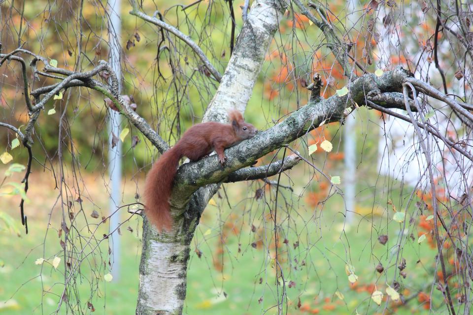 scoiattolo, albero