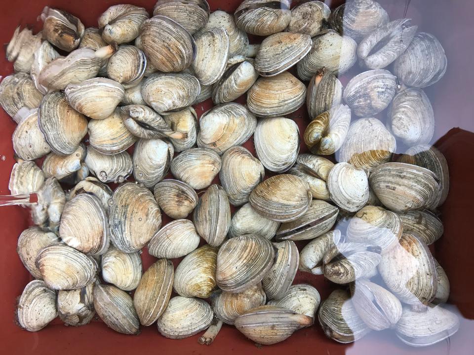 Fresh clams background, seashells close up