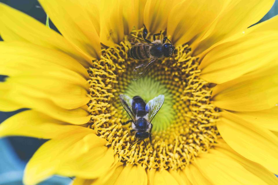 Sunflower with bee on sunflower field landscape