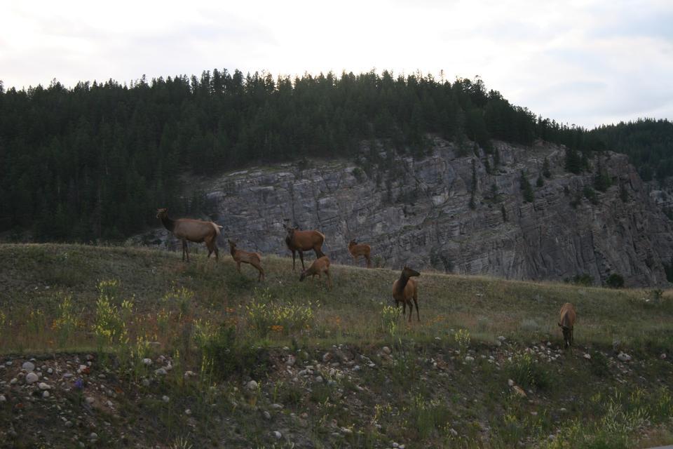 鹿在森林里,贾斯珀国家公园,亚伯大,加拿大