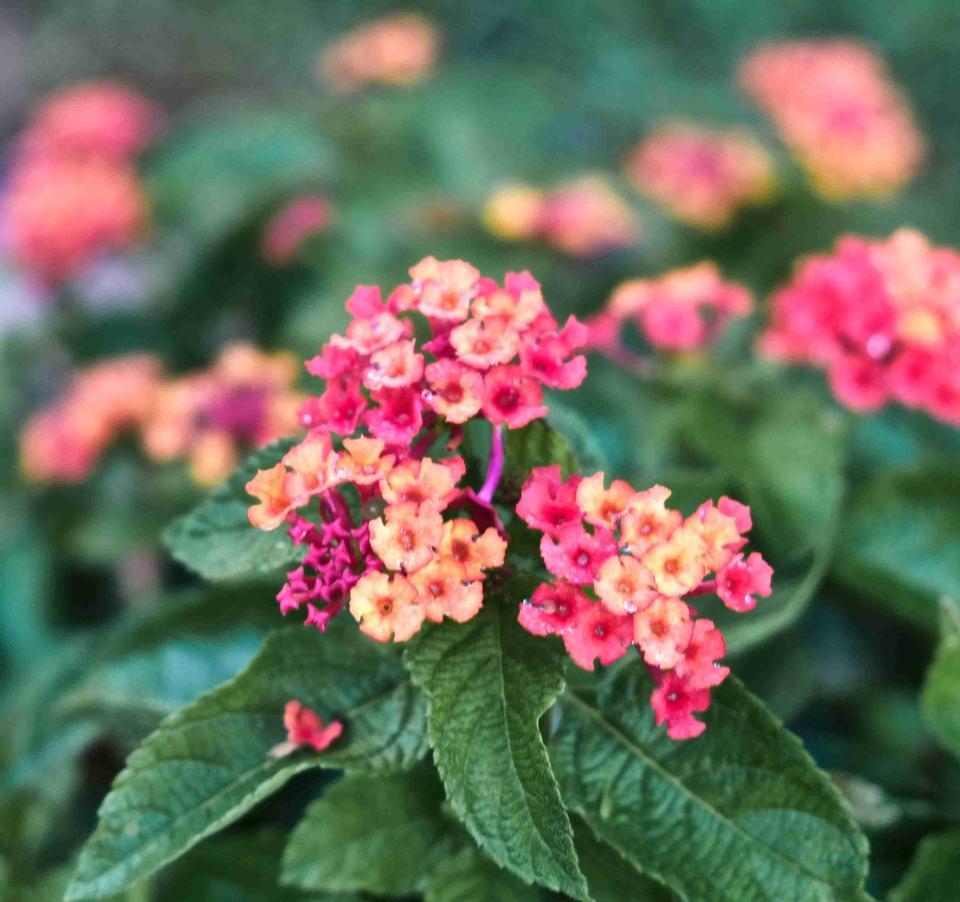 Lantana fleurit