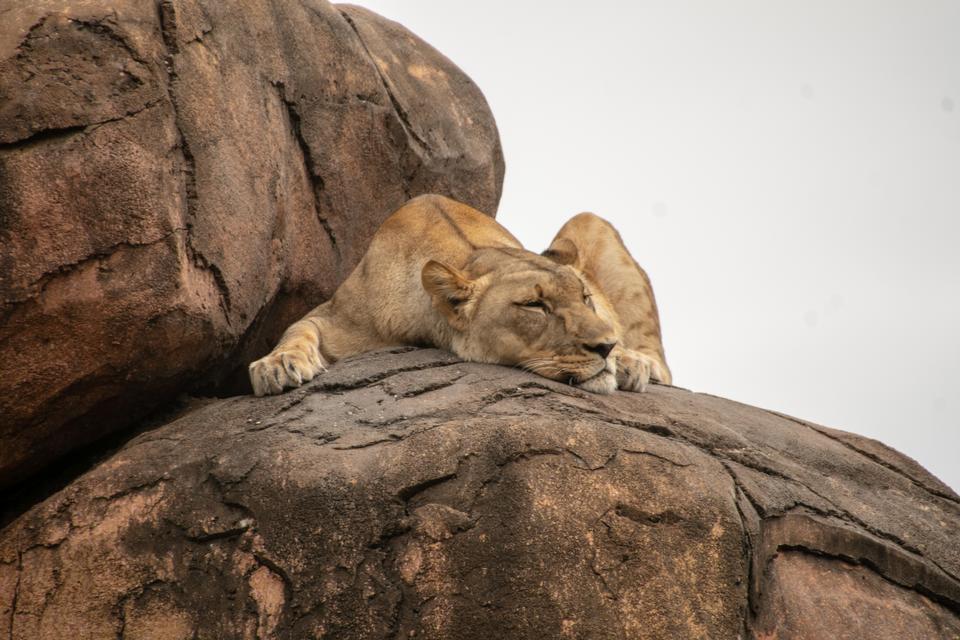 睡觉在岩石的懒惰狮子