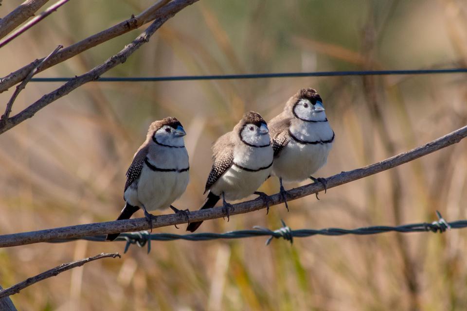 Три птицы на ветке