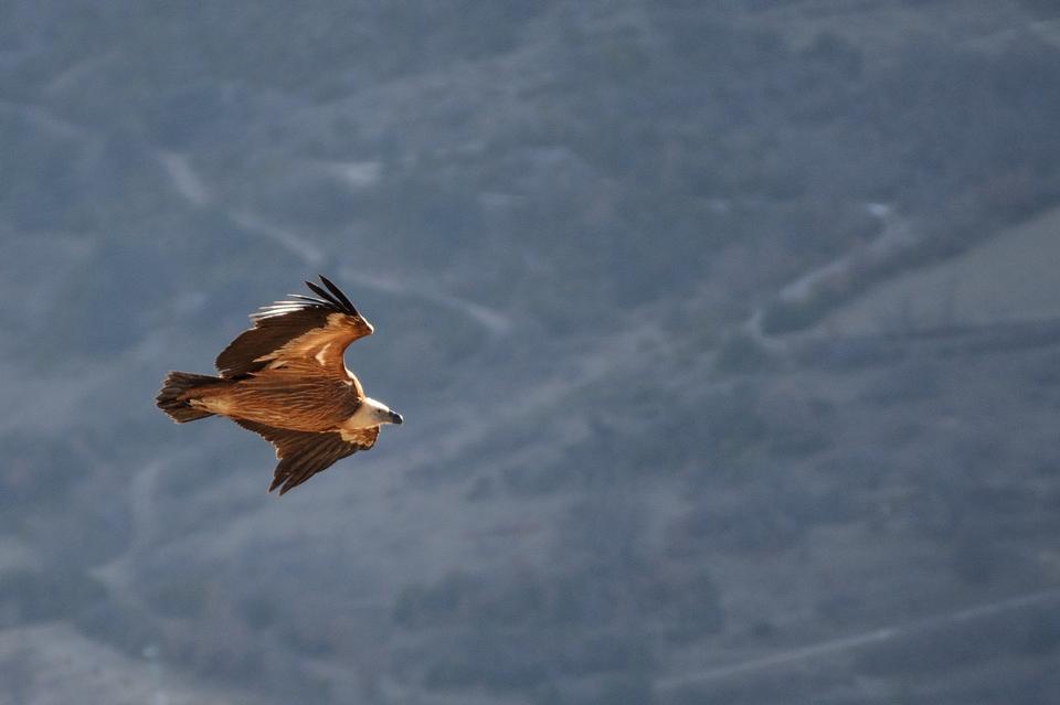 広げられた翼を持つファルコン