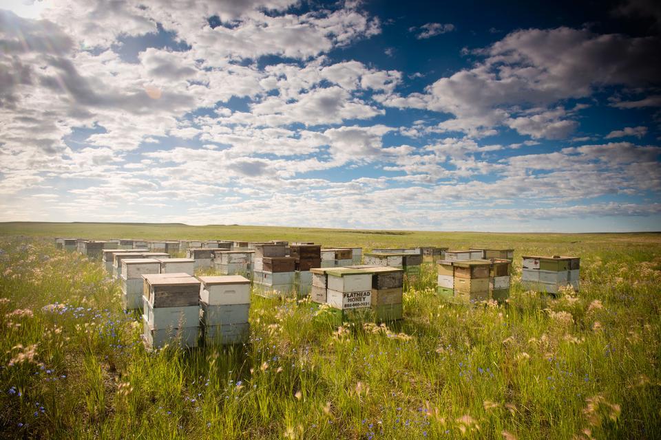 Hölzerne Bienenstöcke auf Ölsaatwiese