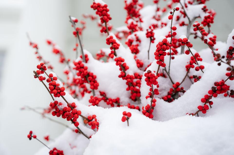 Snow-covered red berries are seen at the White House