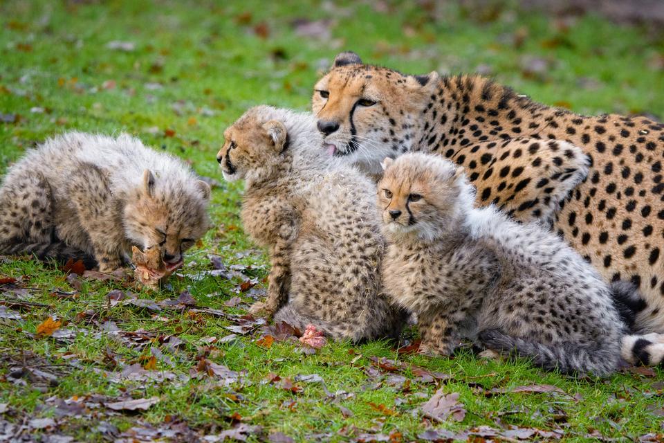 Famiglia ghepardo