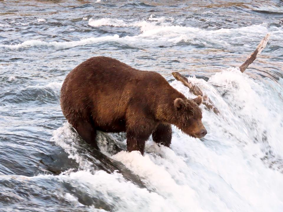 Grizzly bear fishing salmon at Katmai National Park
