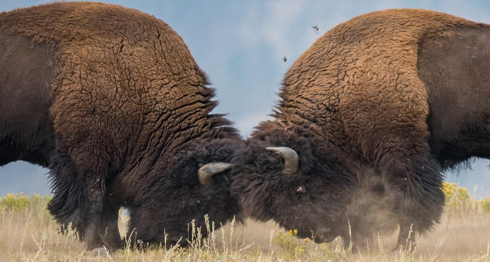 Battle of the Bison