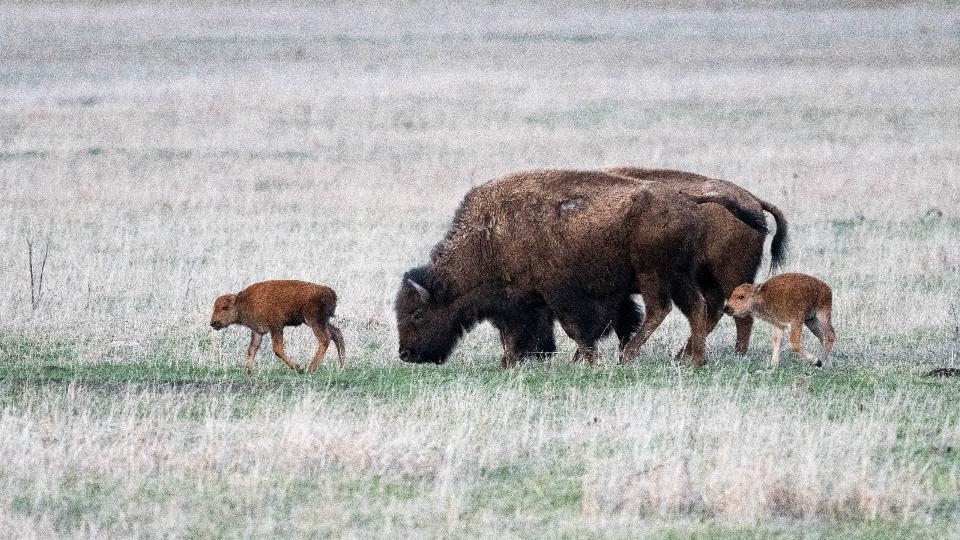 Bison Calves and Cow