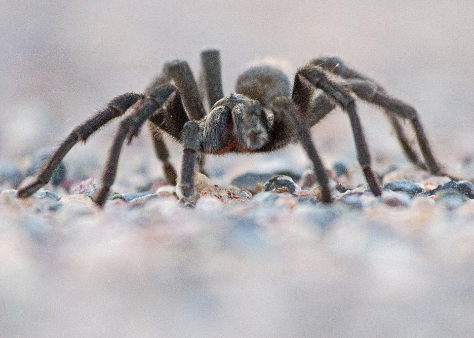Spider On Rock Close up