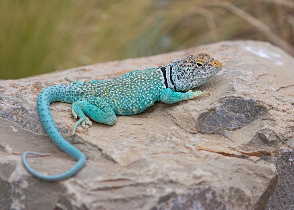 A colorful male Collared Lizard on the rock