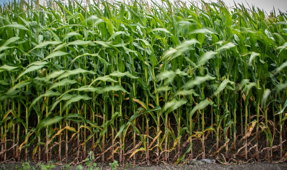 Corn fields Lummi Nation reservation
