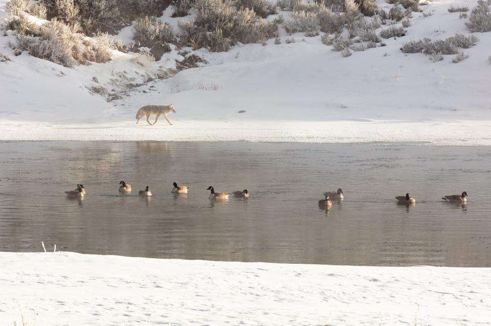 Coyote walks along the Yellowstone River with Canada geese