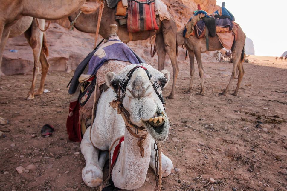 Camels in desert Wadi Rum, Jordan
