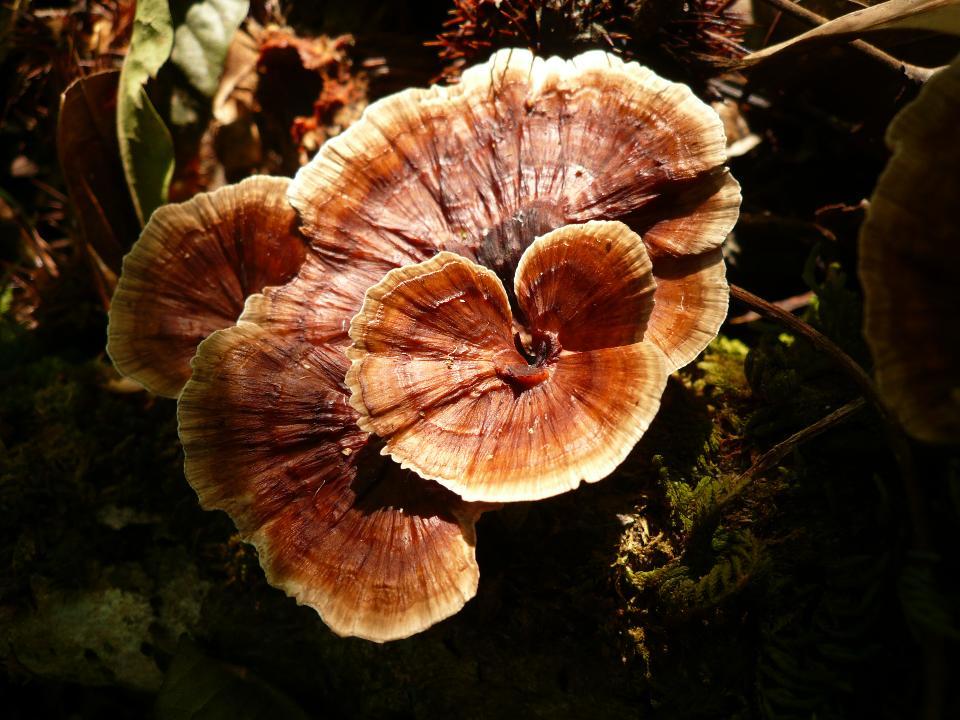 woody fungus