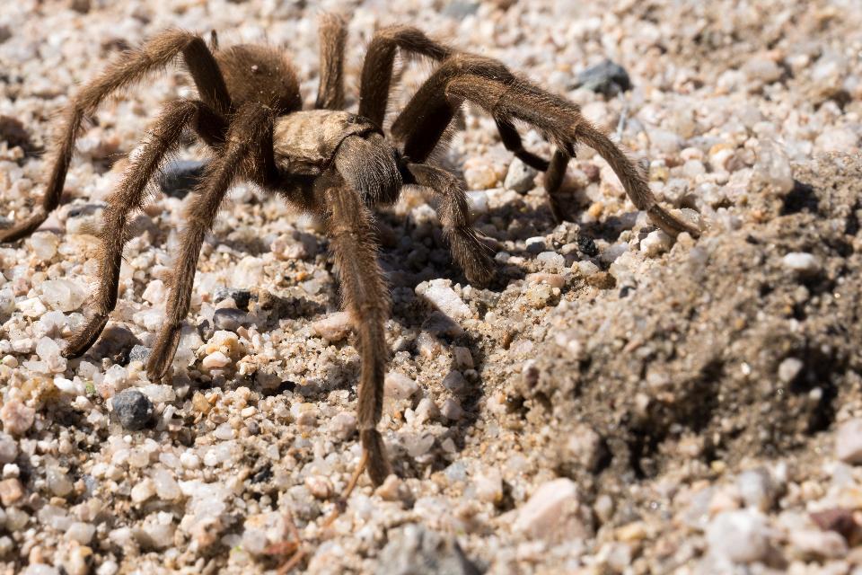 Mojave Tarantula spider