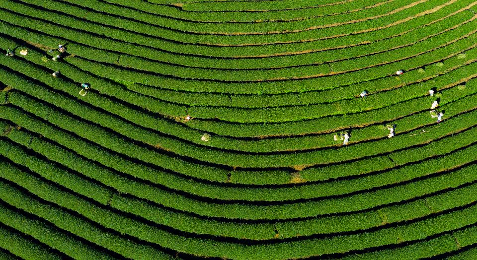 美丽的潭洲绿茶山农场