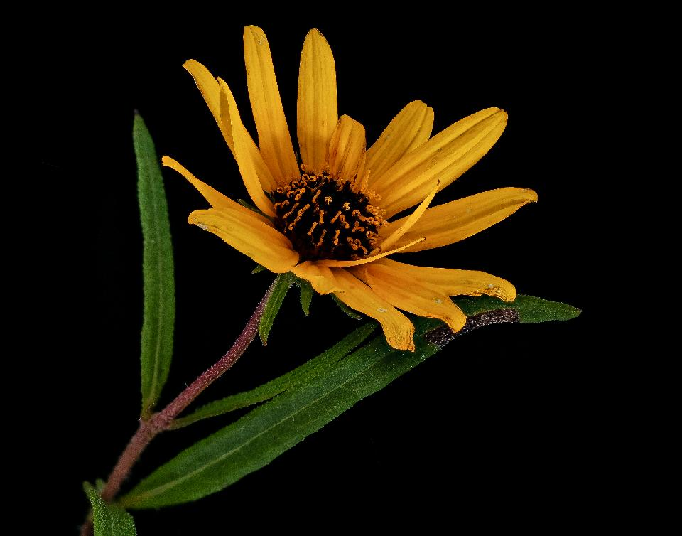 Helianthus angustifolius Linnaeus, Swamp Sunflower