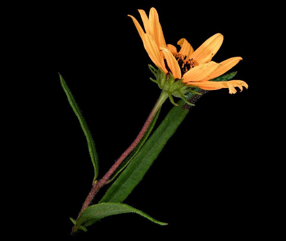 Helianthus angustifolius Linnaeus, Swamp Sunflower