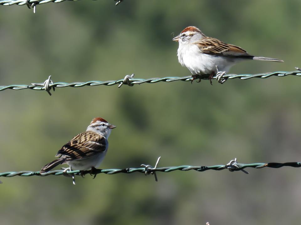 切削麻雀在铁丝网栖息
