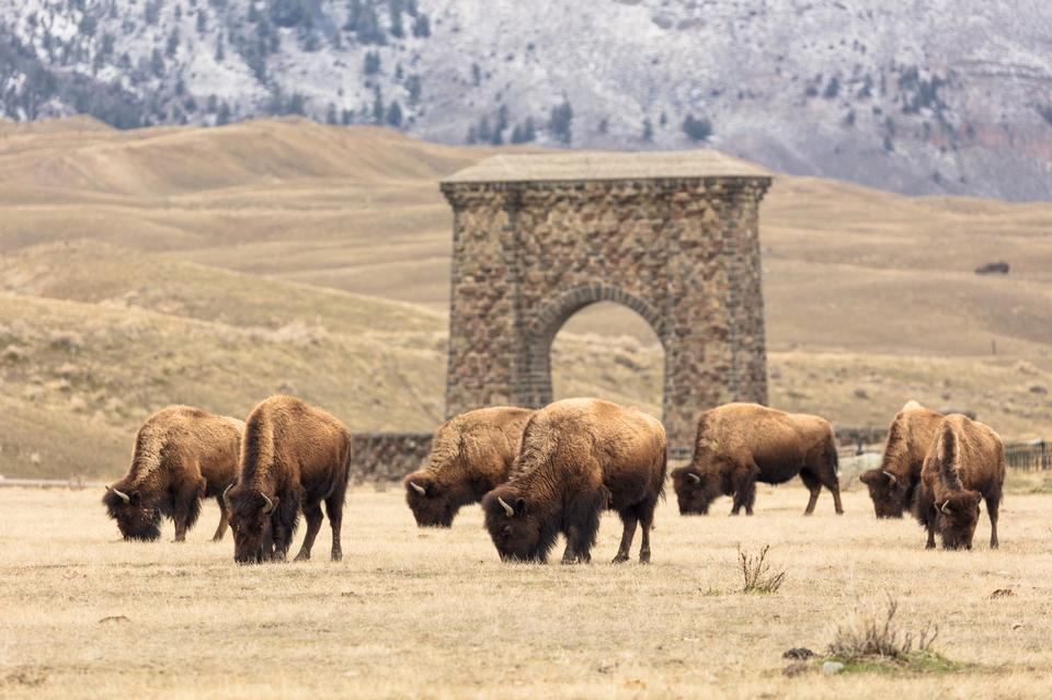 Bison in Yellowstone National Park, Gardiner, Montana