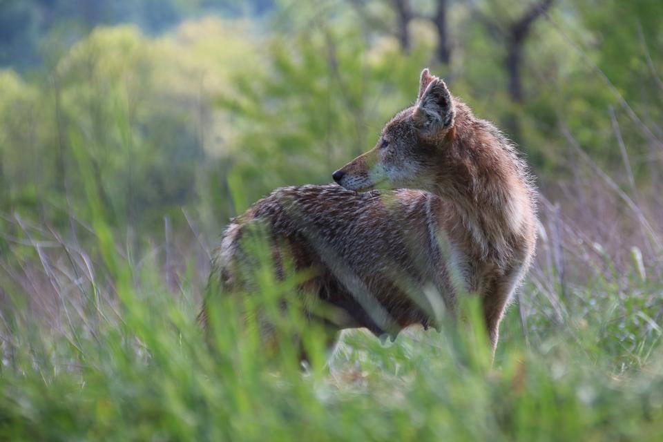 Un seul coyote dans une forêt