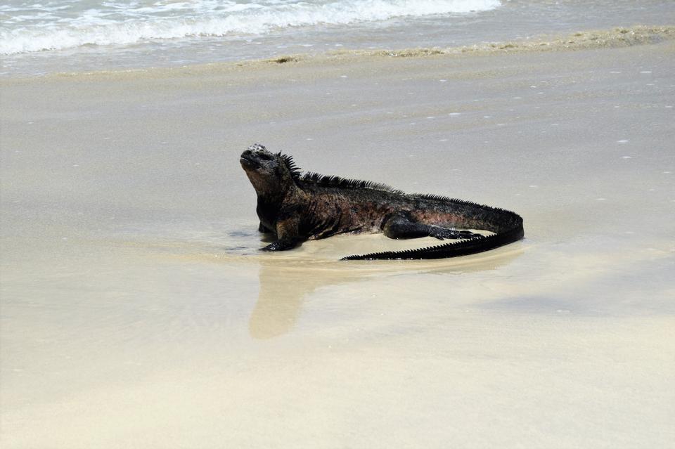 在托尔图加湾的鬣鳞蜥海洋在阿约拉港,圣克鲁斯岛