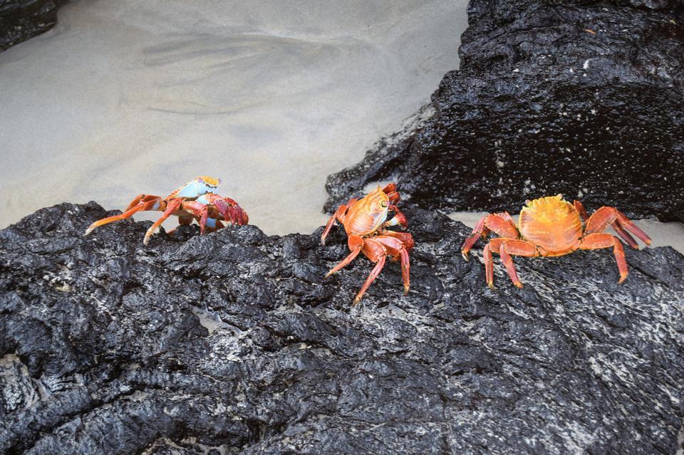 莎莉Lightfoot螃蟹在熔岩岩石,加拉帕戈斯
