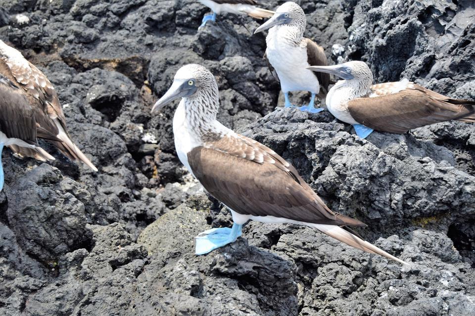 岩、イサベラ島、エクアドルの青い足おっぱい