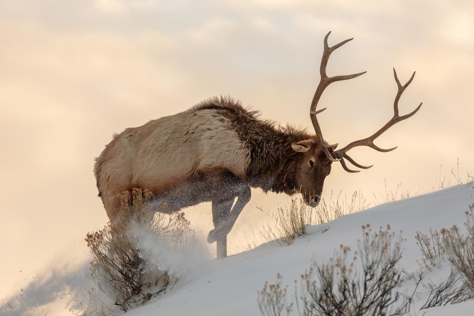 公牛麋鹿在雪下寻找食物