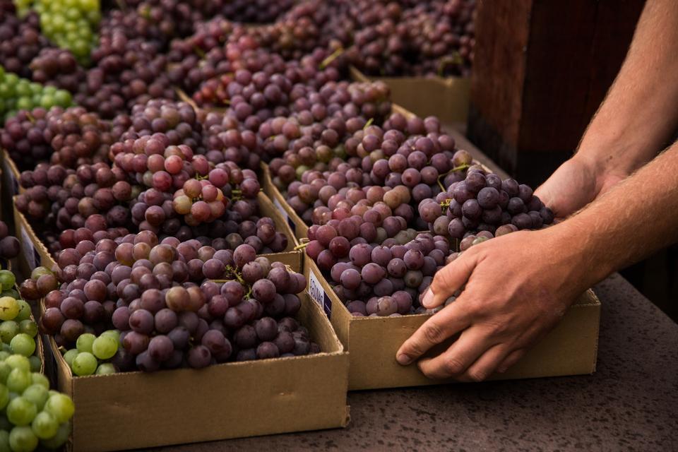 Landwirthände mit frisch geernteten schwarzen Trauben