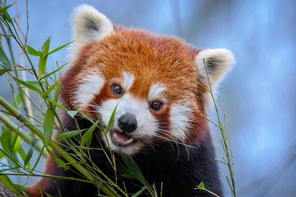 小睡在一棵大树的红熊猫