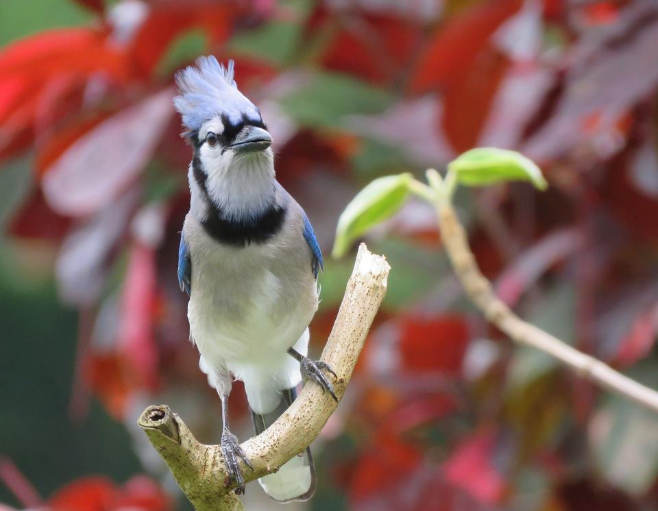 A Blue Jay perched on tree branch
