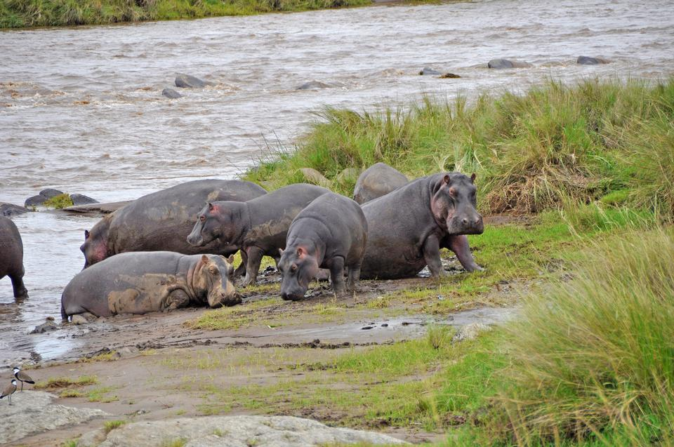 A group of common hippopotamus